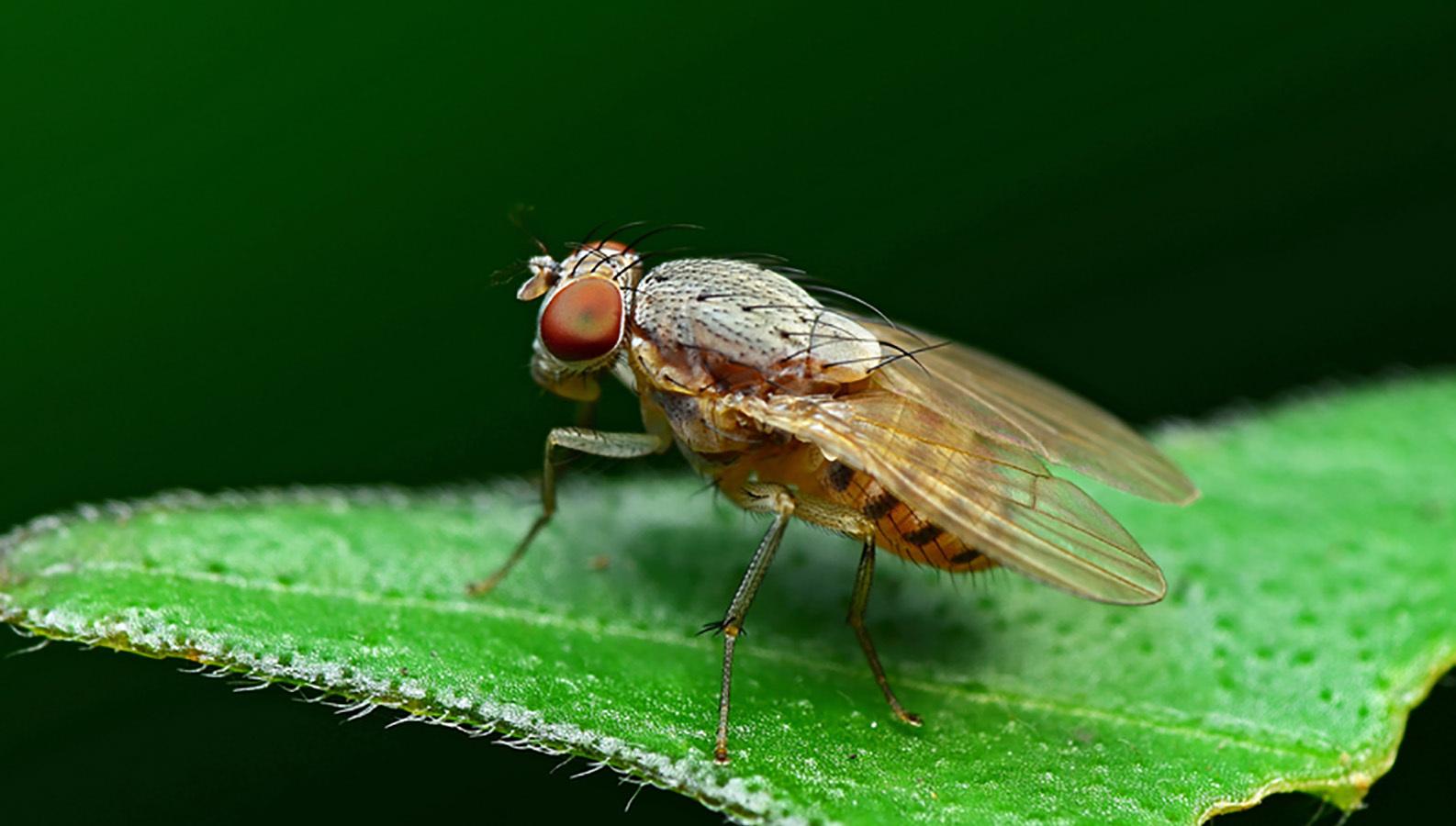 Российские ученые разрабатывают антибиотик из мух