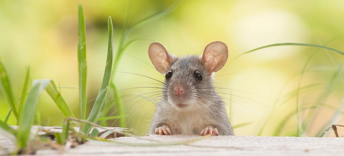 Мыши помогут вылечить депрессию у жителей мегаполисов