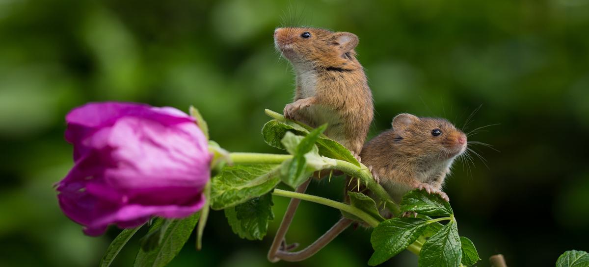 В Сибири вывели не страдающих аллергией мышей