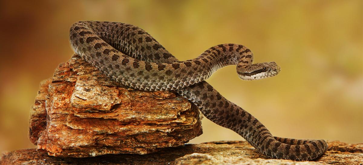 Гены гремучей змеи помогут сердцу биться правильно