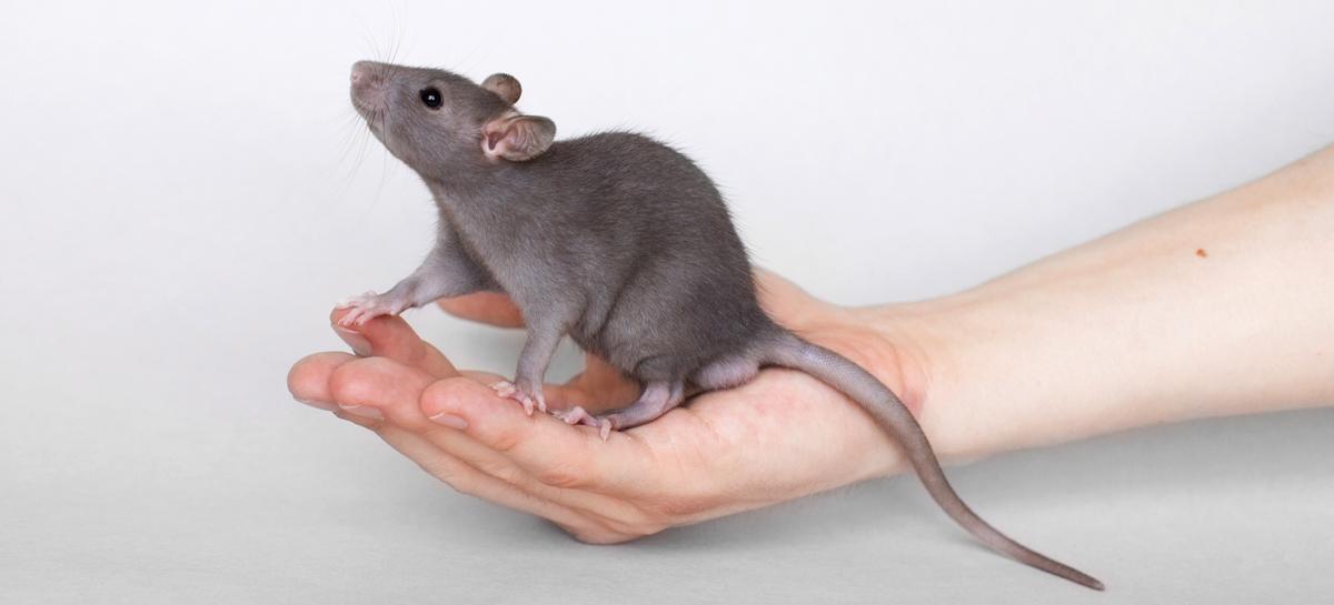 Крысы помогают обнаружить рак легких