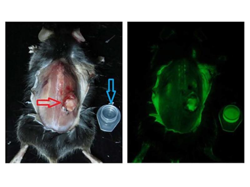Внутривенное введение препарата рибофлавина и картина состояния опухоли у мыши. Источник — Scientific Reports