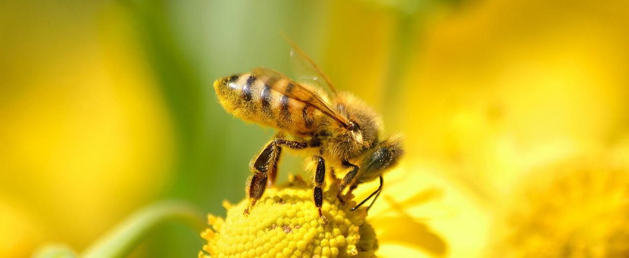 Ученые ННГУ открыли противораковые свойства пчелиного яда