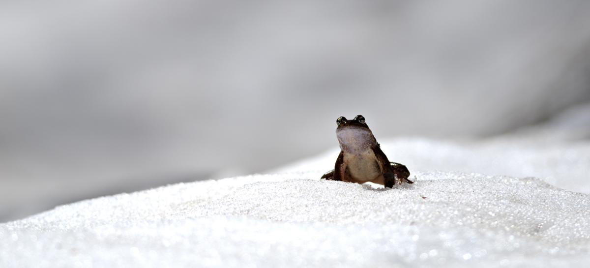 Российские ученые первыми в мире восстановили замороженное сердце лягушки