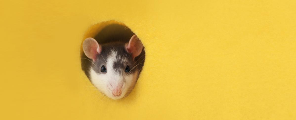 Томские ученые отправят мышей на беговую дорожку