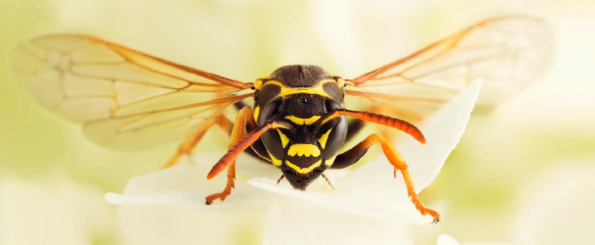 Большая проблема от маленькой осы