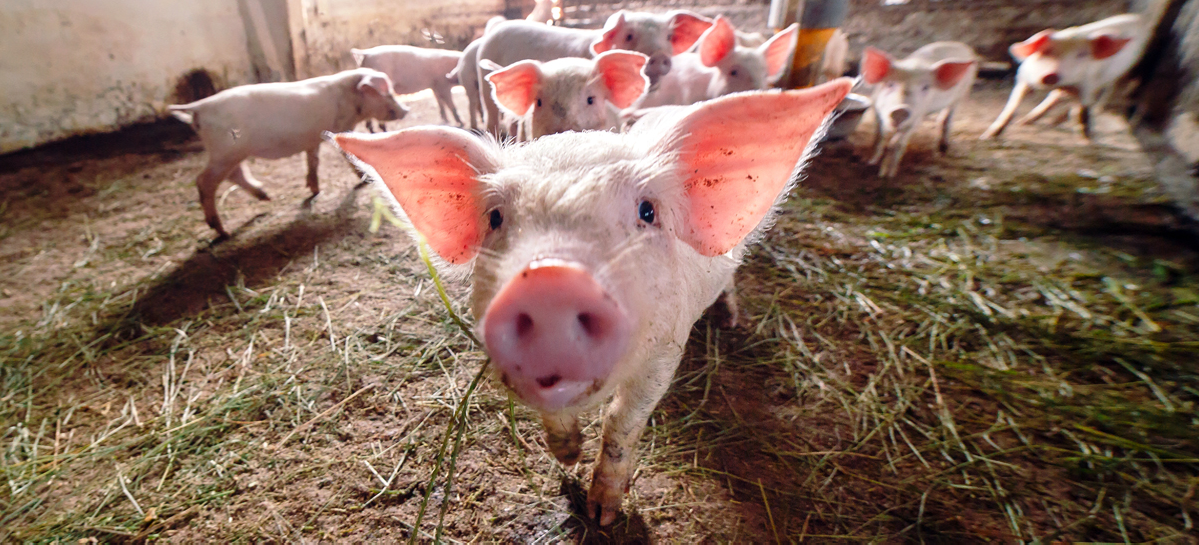 Свиньи могут подарить людям безвредные консерванты