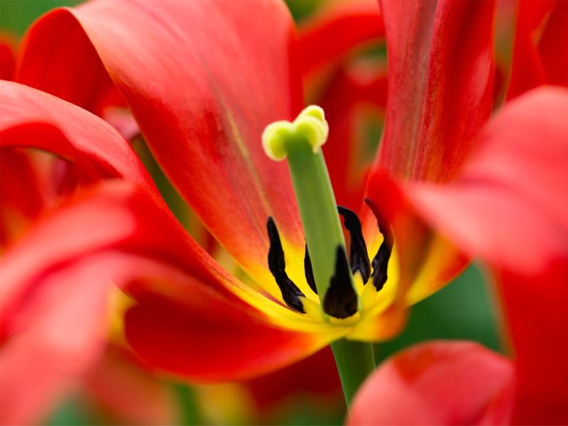 Пустоцвет с тычинками
