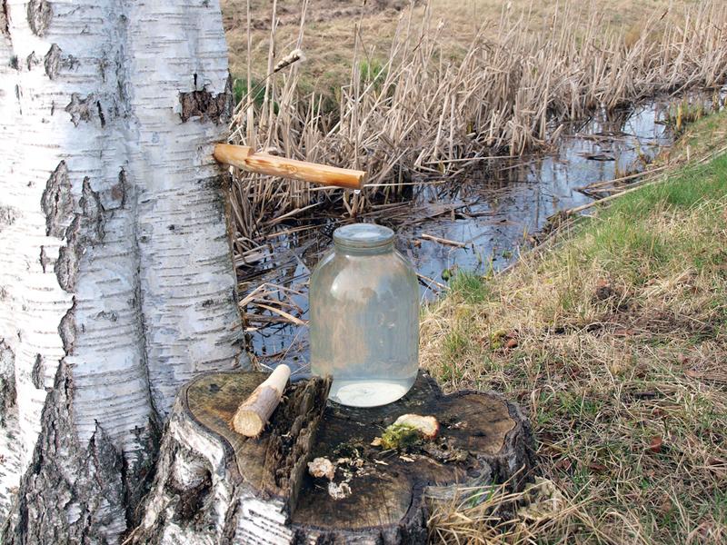 Как собрать в лесу березовый сок, а не клещей