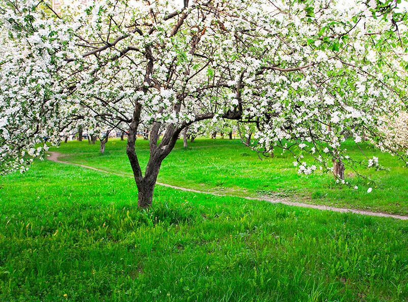 Для онкобольных в поселке Истра разобьют яблоневый сад