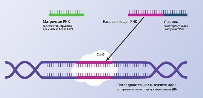 Как работает геномный редактор CRISPR-Cas9